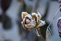 Frosty Morning (Anton Shomali - Thank you for over 2 million views) Tags: rose flower frost frostymorning covering dried frozen frosty morning cold winter ice dry sony slta77v camera photo picture freeze flickr garden backyardflower