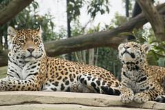 mère et fille (nicotr) Tags: 20190126 jaguar naissance serretropicale zoo