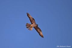 Falco della regina _007 (Rolando CRINITI) Tags: falco falcodellaregina uccelli uccello birds rapaci avifauna ornitologia carloforte sardegna natura