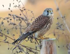 Mr Kestrel (Bogger3.) Tags: malekestrel venuspool birdofprey sharpclaws raptor pointedwings post canon7dmk2 tamron150x600lens fullzoom sunnyday