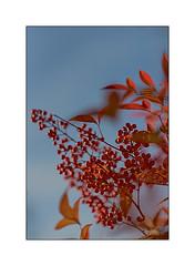 Dernier jour d'automne !!! last day of autumn !!! (Des.Nam) Tags: rouge couleur color nature orange desnam nikon nikond800 d800 flore automne automnal autumn 85mmf18 feuilles baies arbre bokey pdc f18
