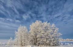 Frost Trees (Joe Chowaniec Images) Tags: winter flickrsbest flicker frost snow cold landscape landscapes nature canada prairies weather clouds frostedtrees trees canon
