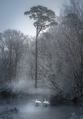 (J a s o n B o l d e r o) Tags: swan mist lake ice trees swans
