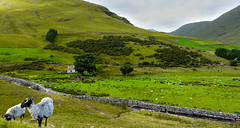The day before … (Le.Patou) Tags: irlande connemara landscape paysage colline hill prairie paturage meadow pasture vert green country countryside sheep smileonsaturday mouton fz18