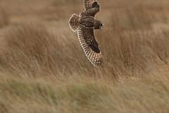 IMG_9926 (monika.carrie) Tags: monikacarrie wildlife seo shortearedowl forvie scotland owl