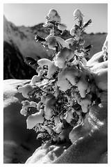Winter Light (galvanol) Tags: impression landscape olivergalvan alpine nature austria mountains snow sellrain sport tree praxmar forest winter tyrol bw galvanol blackandwhite shape alpsintyrol canon2470mmf28liiusm