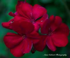 Red Geranium (Anna Calvert Photography) Tags: australia canberra flora floral flowers garden landscape macro macrophotography mygarden nature outdoors petals plants redgeranium