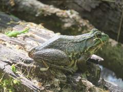 Green Frog 2 (D. S. Hałas) Tags: halas hałas canada ontario haltonregion haltoncounty oakville sixteenmilecreek chordata sarcopterygii amphibia anura ranidae lithobatesclamitans ranaclamitans greenfrog frog