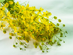 Flowers of Cassia fistula or Golden shower, national tree of Thailand Thais native plant (www.icon0.com) Tags: studio decorate symbol clipping stack beauty flora ayurveda freshness branch space spring beautiful path japanese bloom white thailand golden decoration floral backdrop natural dropping tree cassia thai fistula background detail colorful shower isolated yellow petals summer gold paper national sacred pretty blossom wallpaper nature flower tropical foliage garden growth