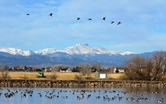 Over the Top (Patricia Henschen) Tags: pinkfootedgoose rare bird goose pinkfooted reservoir milavec frederick colorado lake park frederickrecreationarea longspeak frontrange mountains mountain clouds geese canada cackling ducks