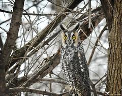 Moyenduc3_FB (ronaldgauthier) Tags: moyenduc owl owls nature naturephotography wildlife wildlifephotography longearedowl winter birdsofprey birds