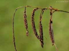 Pendulous (ExeDave) Tags: p8175113 pendulous sedge carex pendula coedmorgan monmouthshire mid wales gb uk plant flora cyperaceae nature august 2017 macro
