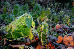 Waldspaziergang V (Art de Lux) Tags: plant cold detail green nature leaves forest countryside frost laub natur pflanze ground grün kalt landschaft wald boden brennnessel stingingnettle artdelux mft microfourthirds