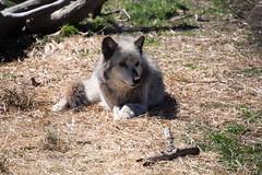 Sunny Wolf (Northern Wolf Photography) Tags: 140mm animal dog em5 fur grass olympus sticks wolf wolfhollow ipswich massachusetts unitedstatesofamerica us