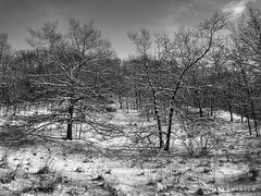 After the snowstorm (mswan777) Tags: mobile iphone iphoneography apple white black ansel monochrome winter weather michigan stevensville quiet scenic nature outdoor landscape storm hike morning cold snow wood tree forest