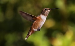 Allen's Hummingbird or a Rufous hummingbird? (RS2Photography) Tags: flickr wings animalplanet photography naturephotography nature canon80d canon hummingbird allen'shummingbird rufoushummingbird