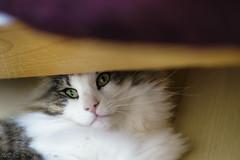 Sue and Pebbles 🐱:heartpulse.Click (miyukiz4 ɥsıןƃuǝ ɹood) Tags: кошка mačka кот en katt köttur კატა un gat katze macska chat katė pisică котенок pisoi kačiukas kotek chaton cica kätzchen mačiatko kettlingur cat kitty