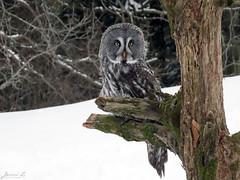 Bea Great Gray Owl CRC IMG_3208 (Jennz World) Tags: ©jennifermlivick canadianraptorconservancy vittoria ontario canada greatgrayowl greatgreyowl owl raptor bird winter snow