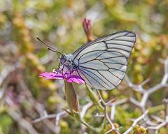 White Black-veined white Aporia crataegi  Mt Ordimonas Lesvos 24/04/18 (Mick Sway) Tags: blackveinedwhite blackveinedwhiteaporiacrataegi lesvosbutterflies