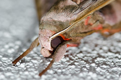 DSC_0671 (tankokher) Tags: 100mm tokina home d7000 closeup macro nature insect moth