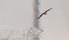 A late Evening Short-eared Owl (Steve (Hooky) Waddingham) Tags: animal coast countryside bird british nature northumberland flight wild wildlife prey owl night