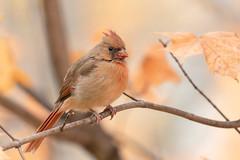 Cardinal rouge // Northern Cardinal (Alexandre Légaré) Tags: cardinal rouge northern cardinalis oiseau bird animal wildlife nature nikon d7500 fall automne autumn