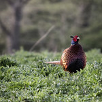The Colourful Pheasant thumbnail
