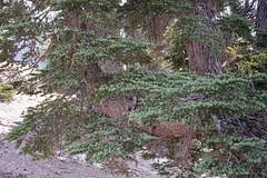 Tsuga mertensiana (Mountain Hemlock) (birdgal5) Tags: california shastacounty lassenvolcanicnp lassenvolcanicnationalpark northoflassenpeakparklot lassenparkroad nativetree pinaceae mountainhemlock tsuga tsugamertensiana nikon d4 nikond4 50mmf14g