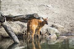 Bambi (Dimormar!) Tags: beeksebergen zoo dierentuin dierenpark sitatunga | sitatoenga vrouwtje woman