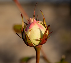 Rose (LuckyMeyer) Tags: makro winter light sun garden yellow knospe bud rose fleur flower
