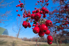 bacche rosse (Roberto_Mosca) Tags: fruit laowa 15mm