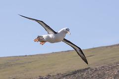 Black Browed Albatross (Linda Martin Photography) Tags: falklandislands thalassarchemelanophrys westpoint southatlanticocean malvinas blackbrowedalbatross westpointisland coth naturethroughthelens coth5