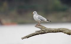 a seagull on a branch - une mouette sur une branche (Franck Zumella) Tags: oiseau bird gull seagull minimalist classic minimaliste classique mouette bleu ciel branche regard loin far away watching blanc