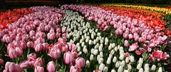 Netherlands - Pays-Bas - Keukenhof (AlCapitol) Tags: hollande netherlands nikon d800 paysbas lisse keukenhof tulipe fleur parc
