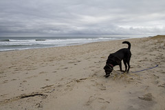 Sniffing About (brucetopher) Tags: beach sea sand ocean atlantic shore coast coastal outside outdoor hike view travel newengland vacation dog lab labrador blacklab black sniff smell walk waves surf breakers cloudy cloud animal pet pets leash