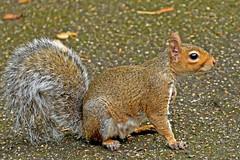 Grey Squirrel (42jph) Tags: grey squirrel animal wildlife rodent nikon d7200 uk england buxton derbyshire