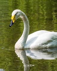 Whooper swan swimming in the green reflecting waters of the lake.• • • • •#whooperswan #whooper #swan #swans #swansofinstagram #birds #birdsofinstagram #bird #birdwatching #birdphotography #your_best_birds #birding #birdstagram #nuts_about_birds #wildlife (justin.photo.coe) Tags: ifttt instagram whooper swan swimming green reflecting waters lake• • •whooperswan swans swansofinstagram birds birdsofinstagram bird birdwatching birdphotography yourbestbirds birding birdstagram nutsaboutbirds wildlifephotography kingsbirds bestbirdshots wildlife allmightybirds featherperfection instabirds instabird birdlovers birdfreaks justinphotocoe