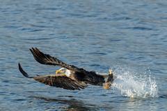 Eagle Season (Beve Brown-Clark) Tags: baldeagle eagle birdofprey wildlife nature ©bevebrownclark winter