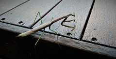 Praying Mantis (Celeste33) Tags: prayingmantis mantis insect australia
