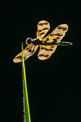 Backlit Dragonfly (Nature's Image Photography) Tags: dragonfly backlight insect macro nature wings