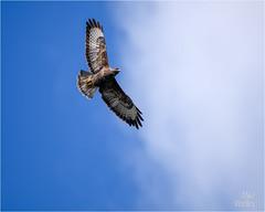 Buzzard (Mike Woolley) Tags: autumn bird birdofprey buzzard devon nikon wildlife