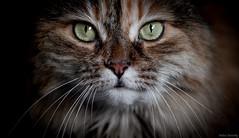 Bella (again) :) (Melissa M McCarthy) Tags: cat kitty pet animal nature portrait face closeup macro yellow green eyes whiskers pretty cute rescue senior bella canon7dmarkii sigma105mmmacro