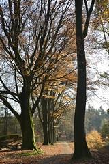 de beuken_D711069 (Vogelmelk) Tags: veluwe bos herfst gelderland forest autumn nederland nature natuur