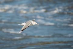 Gull_DVL0764 (larry_antwerp) Tags: meeuw gull bird vogel schelde 斯海尔德河 スヘルデ川 스헬더 강 رود شلده سخيلده