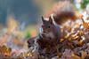 Hoernchen-2018-3881.jpg (Joachim Dobler) Tags: eichhörnchen eichhoernchen squirrel écureuil ardilla scoiattolo esquilo nature natur nagetier esquito wildlife animal cute naturephotography squirrellove wildlifephotography bestsquirrel nutsaboutsquirrels cuteanimals