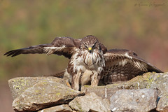 Possente (Simone Mazzoccoli) Tags: nature wild wildlife buzzard birds birdwatching animals colors background