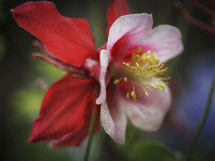 Red Dress (shawn~white) Tags: 100mm aquilegia ef100mmf28macro macro beauty closeup exuberance floral flower glowing red romantic spring yellow ©shawnwhite