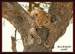 LEOPARD (Panthera pardus) ...MASAI MARA.....SEPT 2018. (M Z Malik) Tags: nikon d800e 400mmf28gedvr kenya africa safari wildlife masaimara keekoroklodge exoticafricanwildlife exoticafricancats flickrbigcats leopard pantheraparduc bigcats ngc npc