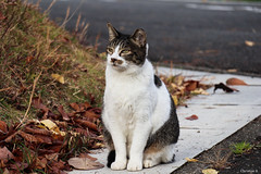 stray cat (Christine_S.) Tags: japan outdoor fall autumn leaves colors straycat canon eos m5 coth coth5 mirrorless