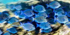 Blue tang in motion (Beth Bennett & Gérard Cachon) Tags: bonaire caribbean netherlandsantilles diving nauticam ocean scuba sea underwater water bluetang tang school fish reef slagbaai washingtonpark